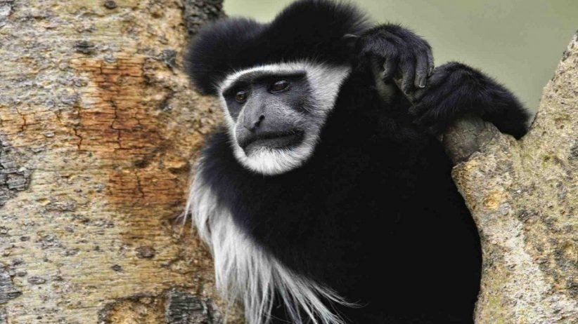 Abyssinian Black And White Colobus Monkey 950x534